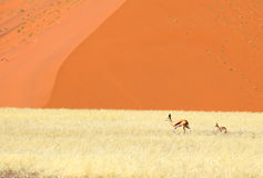 Springbok and lamb at Sossusvlei Stock Image
