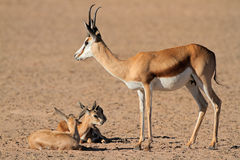 Springbok with lambs Stock Images