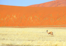Springbok with a little lamb in front of the dune Stock Photography