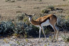 Springbok looking at the camera royalty free stock photos
