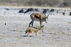 Springbok looking at passing jackal Stock Photos