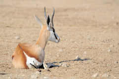 Springbok lying Royalty Free Stock Photography