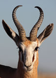 Springbok male close-up Royalty Free Stock Photo