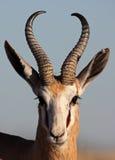 Springbok male close-up. Springbok or springbuck antelope, Etosha National Park, Namibia, Africa Royalty Free Stock Photo
