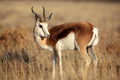 Springbok male in savanna grasslands of Namibia Royalty Free Stock Image