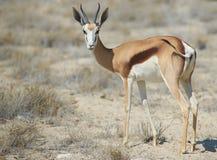 Springbok. Male springok (Antidorcas marsupialis) in Etosha National Park, Namibia Royalty Free Stock Photo