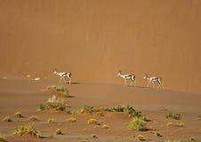 Springbok marchant à travers des dunes de sable de désert Images libres de droits