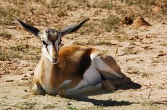 Springbok (marsupialis Antidorcas) royalty-vrije stock afbeeldingen
