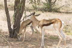 Springbok mother with juvenile browsing on an Acacia tree royalty free stock photo