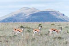 Springbok in the Mountain Zebra National Park Royalty Free Stock Image