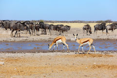 Springbok at muddy waterhole Stock Photos