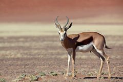 Springbok in Namib desert Stock Images