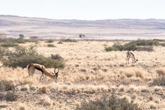 Springbok in Namib-Naukluft Park, Namibia Stock Images