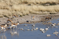 Springbok - Namibia. Group of Springbok at a waterhole in Etosha National Park in Namibia Royalty Free Stock Photos