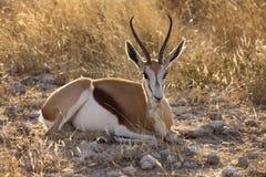 Springbok - Namibia. Springbok (Antidorcus marsupialis) in Etosha National Park in Namibia stock photography