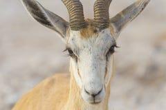 Springbok in Namibia Stock Image