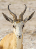 Springbok in Namibia Royalty Free Stock Images