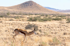 Springbok in Namibia Royalty Free Stock Photography