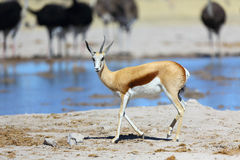 Springbok with one horn at the waterhole Stock Image