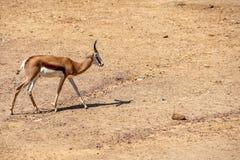 Springbok op zand het lopen stock foto