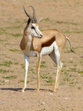 A springbok photographed in the Kgalagadi Transfrontier National Park between South Africa, Namibia, and Botswana. Royalty Free Stock Image