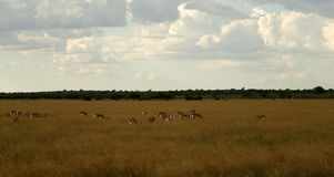 Springbok Plains Game. The Springbok antelope are South Africa`s rugby emblem they are also the favourite food of lion hyena leopard & cheetah Stock Image