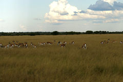Springbok Plains Game Stock Image