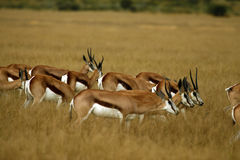 Springbok Plains Game. The Springbok antelope are South Africa`s rugby emblem they are also the favourite food of lion hyena leopard & cheetah Royalty Free Stock Photo