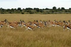 Springbok Plains Game. The Springbok antelope are South Africa`s rugby emblem they are also the favourite food of lion hyena leopard & cheetah Stock Photography