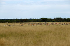 Springbok Plains Game. The Springbok antelope are South Africa`s rugby emblem they are also the favourite food of lion hyena leopard & cheetah Royalty Free Stock Images