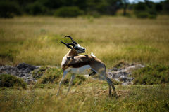 Springbok Plains Game. The Springbok antelope are South Africa`s rugby emblem they are also the favourite food of lion hyena leopard & cheetah Stock Photos