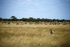 Springbok Plains Game. The Springbok antelope are South Africa`s rugby emblem they are also the favourite food of lion hyena leopard & cheetah Stock Images