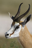 Springbok portrait Royalty Free Stock Images