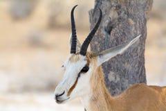 Springbok, portrait Photographie stock libre de droits