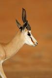 Springbok portrait Royalty Free Stock Image