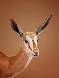 Springbok portrait Stock Photography