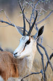 Springbok portrait Stock Image