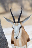 Springbok, portrait Stock Photography
