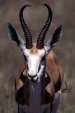 Springbok portrait. A springbok taken in the etosha national park Stock Photos