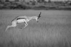 Springbok pronking in the Central Kalahari. Springbok pronking in black and white in the Central Kalahari Game Reserve, Botswana Stock Photo