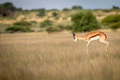 Springbok pronking in the Central Kalahari. Springbok pronking in the Central Kalahari Game Reserve, Botswana Royalty Free Stock Photography