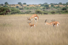 Springbok pronking in the Central Kalahari. Springbok pronking in the Central Kalahari Game Reserve, Botswana Royalty Free Stock Photos