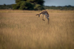 Springbok pronking dans la haute herbe photos stock