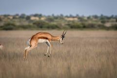 Springbok pronking dans le Kalahari central images stock