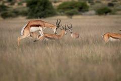Springbok pronking dans le Kalahari central photographie stock