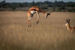 Springbok pronking in the high grass. Stock Image