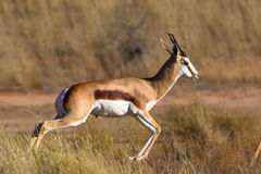 Springbok pronking. A male Springbok pronking against a blurred natural grassland setting, South Africa Royalty Free Stock Photo