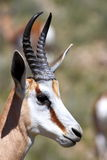 Springbok Ram Stock Photos
