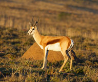 Springbok Ram Stock Photography