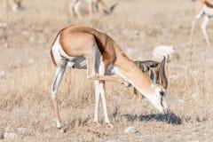 Springbok ram, Antidorcas marsupialis, scratching Stock Photography